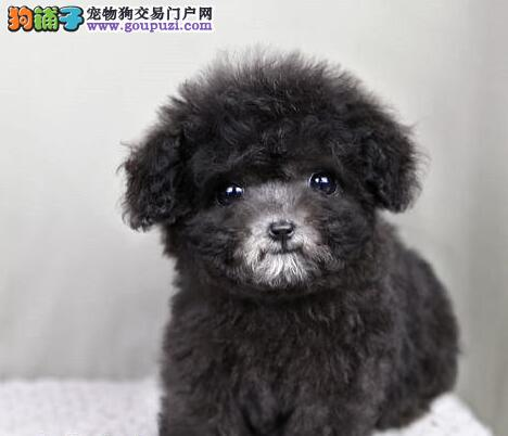 杭州自家犬舍繁殖出售泰迪犬公母均有多只可选购