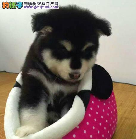 黑色灰色棕色的武汉阿拉斯加犬低价出售 十字脸签协议