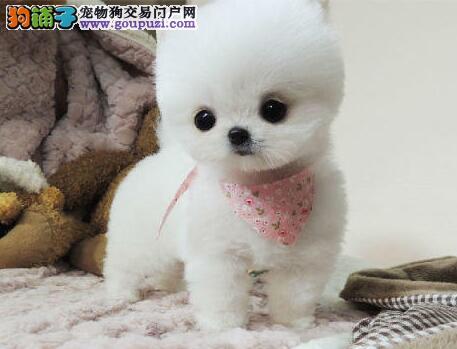 杭州正规养殖场热销哈多利球形血系的博美犬 非诚勿扰
