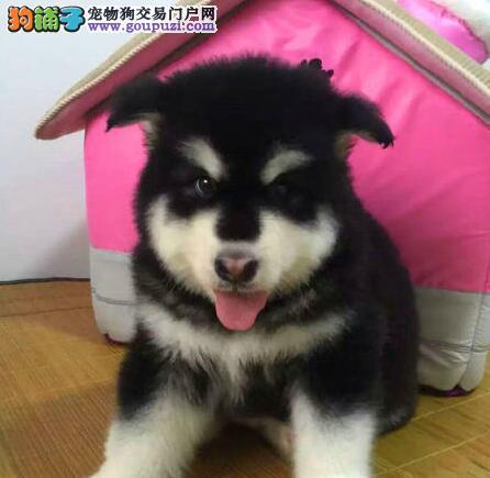 北京正规狗场犬舍直销阿拉斯加犬幼犬金牌店铺有保障