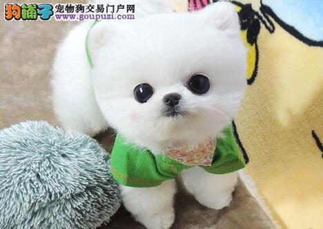 吉林正规实体店促销博美犬品质保证售后完善