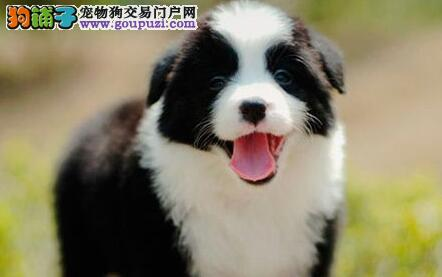 高智商纯血系的武汉边境牧羊犬热卖中 狗贩子请绕行
