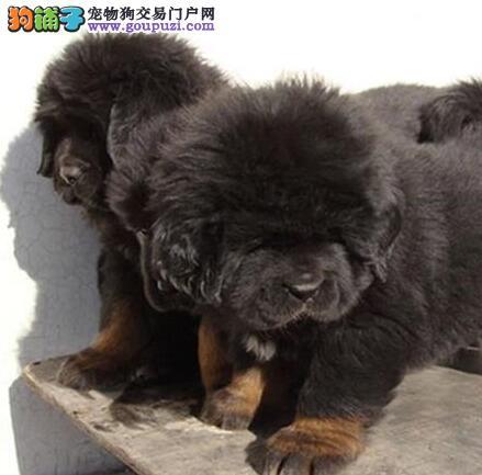 藏獒上海CKU认证犬舍自繁自销质保三年支持送货上门