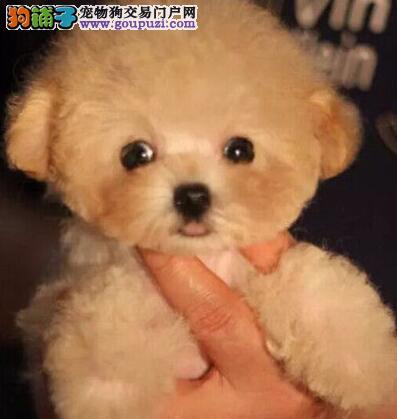 海口狗场特价出售完美品相的泰迪犬 茶杯玩具血系均有