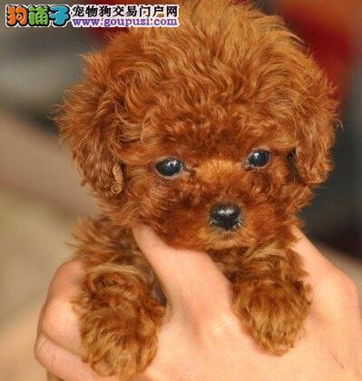 大型专业培育贵宾犬幼犬包健康保障品质一流专业售后