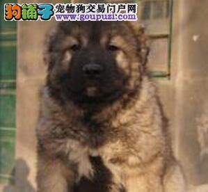 权威机构认证犬舍 专业培育高加索幼犬保证冠军级血统
