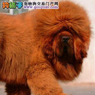 赛级品质的沈阳藏獒幼崽找新家 大狮子头 铁头包金