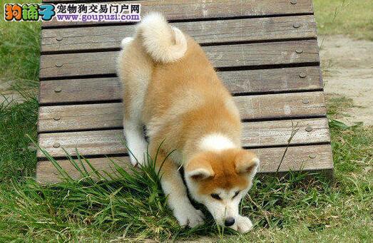 自家繁殖的沈阳秋田犬待售中 数量优先喜欢不要错过啦