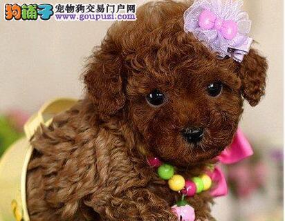 出售贵宾犬宝宝、CKU认证品质、等您接它回家