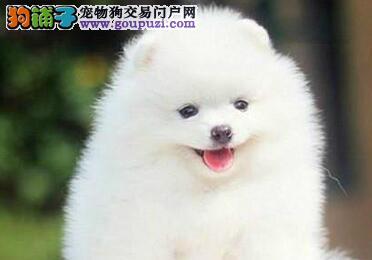 出售景德镇博美犬专业缔造完美品质质保三年支持送货上门