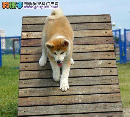 狗场直销纯种日系武汉秋田犬 可刷卡可送狗上门免邮费