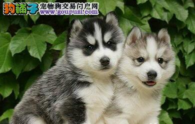 出售多种颜色西安纯种哈士奇幼犬签订三包合同