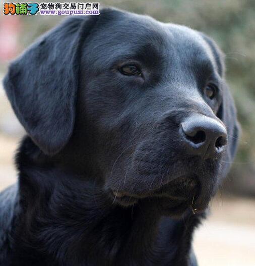 深圳狗场直销价出售拉布拉多犬 外地可办发货免邮费
