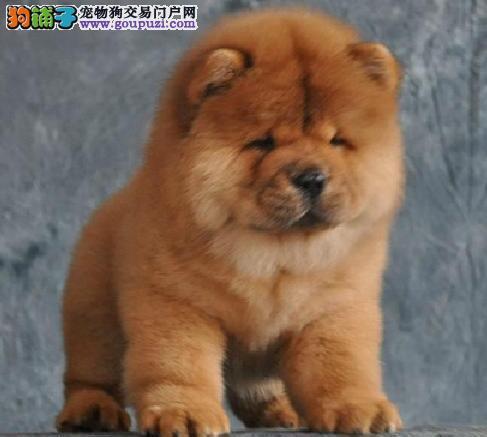 国际CKU认证 专业繁殖高品质松狮犬 赛级血统极品松狮