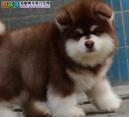 狗场专业繁殖转让顶级福州阿拉斯加雪橇犬 欢迎购买