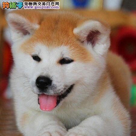 狗场直销高品质日系长春秋田犬 可刷卡可视频可送狗