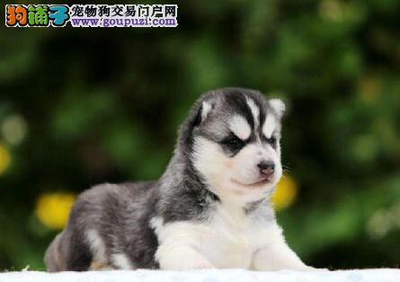 南京知名犬舍低价出售纯血统的哈士奇幼犬 可送货上门