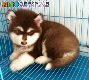 火爆出售血统纯正的郑州阿拉斯加犬签订三包合同