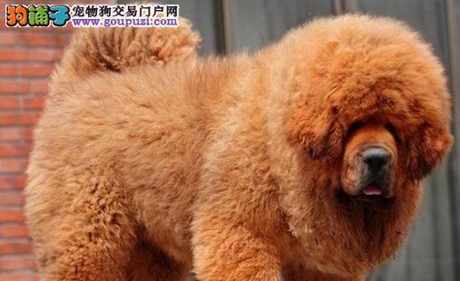 天津专业繁殖培育纯血统藏獒 多色可选 幼獒出售