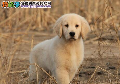 厦门专业养殖基地热卖高品质的金毛犬 签协议放心选购