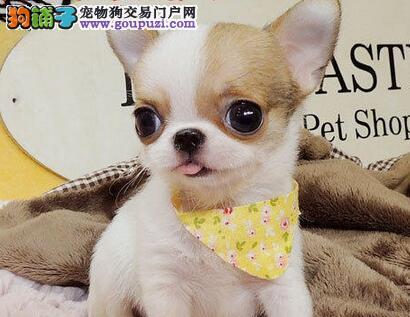 热销吉娃娃幼犬 纯种健康品相优良 签订活体协议