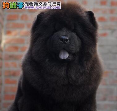 吐鲁番狗场出售顶级肉嘴松狮犬 购买没有任何后顾之忧