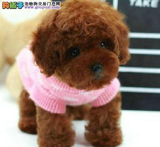 纯种韩系血统重庆贵宾犬犬舍直销 冠军级血系颜色多样