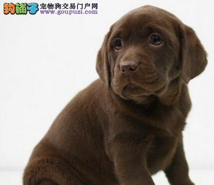 基地直销纯种厦门拉布拉多犬品质保证签协议