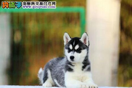 出售自家繁殖的厦门哈士奇幼犬 3窝左右供您挑选