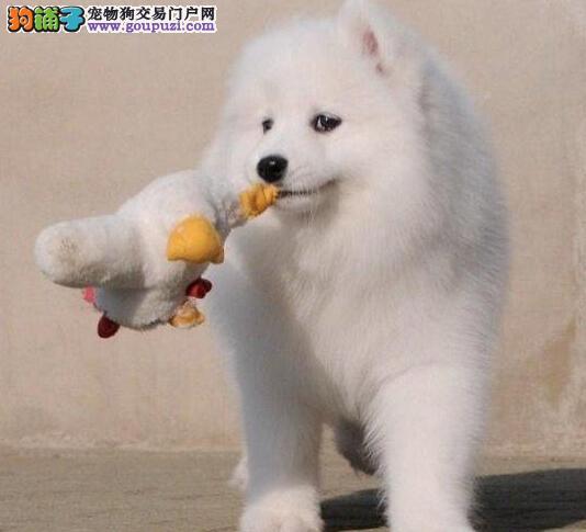 南宁犬舍出售大骨架毛色靓的萨摩耶幼犬 签订协议书