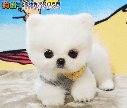 雪白色俊介血系的东莞博美犬低价转让 建议上门选购犬