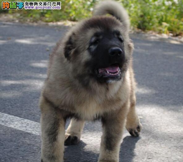 专业高加索繁殖基地出售赛级高加索幼犬!血统纯正