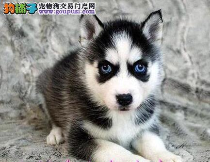售自家繁殖的东莞哈士奇幼犬 公母均有可随时上门选购