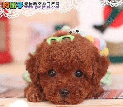 茶杯玩具血系的东莞泰迪犬找爸爸妈妈 乖巧可爱签协议