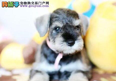 白胡子广州雪纳瑞小老头找新主人 狗贩子勿扰