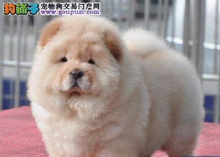 家养赛级松狮宝宝品质纯正微信咨询看狗狗照片
