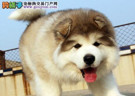 低价转让哈尔滨阿拉斯加雪橇犬带血统证书签合同