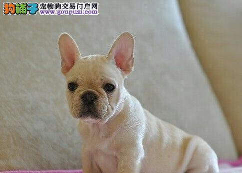 纯血统法国斗牛犬幼犬 真实照片保纯保质 可送货上门