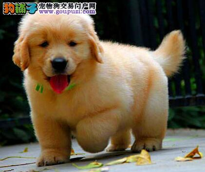 出售品质极佳的武汉金毛犬 大骨量大体型头版精致