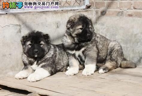 纯种高加索犬幼犬高品质 俄系大骨架高加索保健康