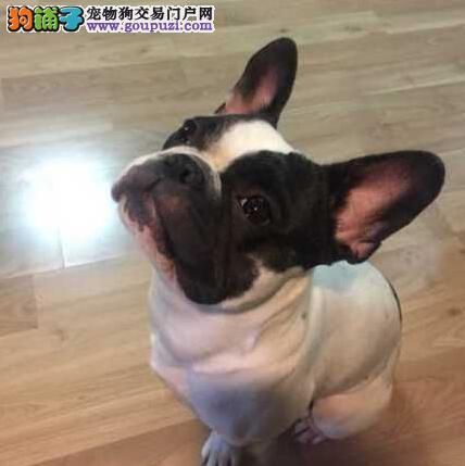 赛级品相拉萨法国斗牛犬幼犬低价出售微信咨询看狗