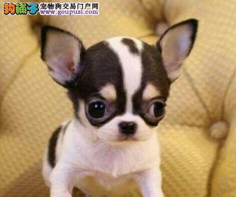 纯种墨西哥血统吉娃娃直销 拉萨正规犬舍繁殖出售