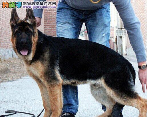 纯种大头锤系拉萨德国牧羊犬 可接受预定欢迎购买