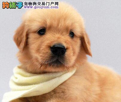 大骨架金毛犬直销出售 拉萨周边地区可送保证健康