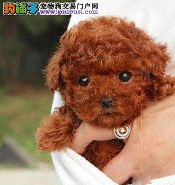 广州贵宾犬价格 在广州哪里有卖贵宾犬 纯种贵宾犬价格
