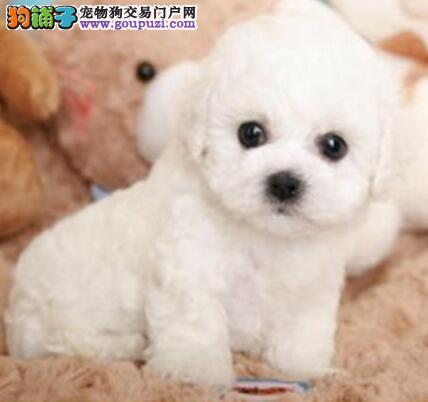 可爱卷毛深圳比熊犬热销中 健康有保证可当面看狗议价