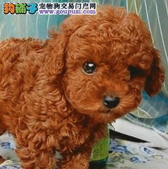 热销纯种极品北京贵宾犬 欢迎上门选购颜色多样公母全