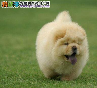 直销大嘴健康松狮犬 深圳周边可当面看狗可签订协议