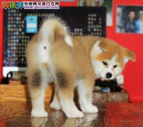 出售颜色齐全身体健康秋田犬欢迎上门选购价格公道