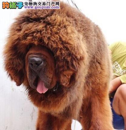 正规犬舍直销出售纯种拉萨藏獒品质优秀身体绝对健康